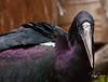 Haddad Ibis