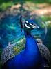 Watercolor Peacock!