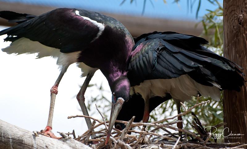 Nesting, Haddad Ibis