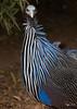 Vulturine, Guinea Fowl