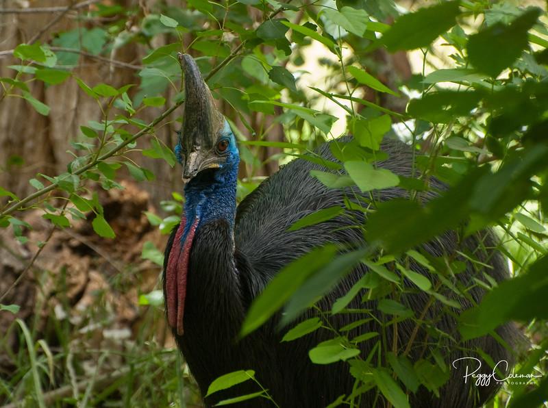 "Cassowary--closest bird to ""prehistoric"" I have seen!"