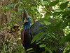 "Cassowary--closest bird to ""prehistoric"" I have seen!"