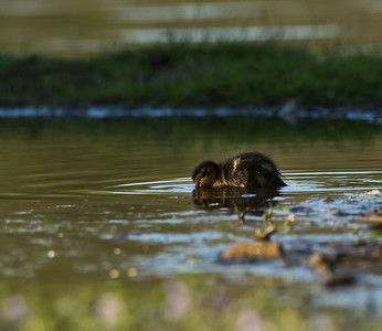 Juvenile Mallard Duck (Anas platyrhynchos)