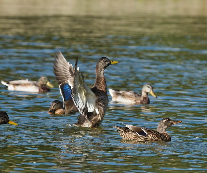 Mallard Ducks (Anas platyrhynchos)