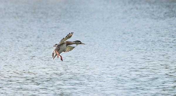 Male Mallard Duck (Anas platyrhynchos)