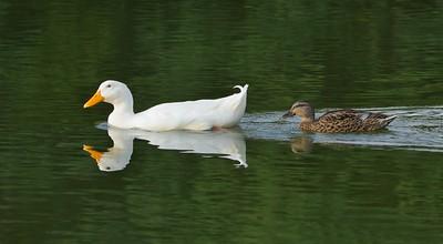 American Pekin (Anas platyrhynchos domesticus) & Mallard Duck (Anas platyrhynchos)