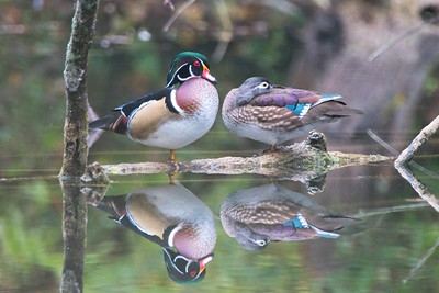 Wood Ducks (Aix sponsa)