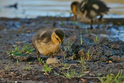 Juvenile Mallard Ducks (Anas platyrhynchos)