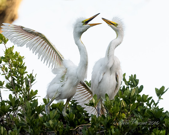 Egret chicks