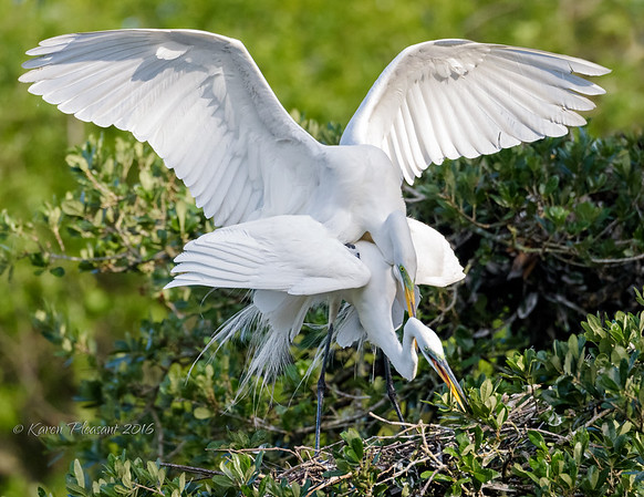 Mating egrets