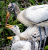 Wood stork and chicks