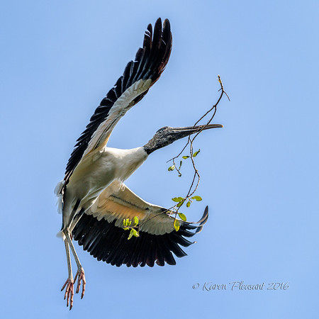 Woodstork with nesting material