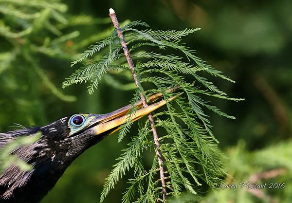 Anhinga with nesting material....