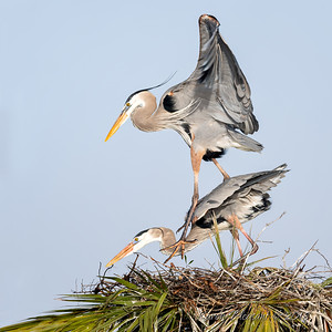 9  Heron's mating