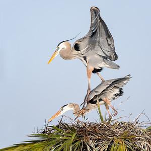 9  Heron's mating