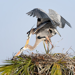 5  Heron's mating