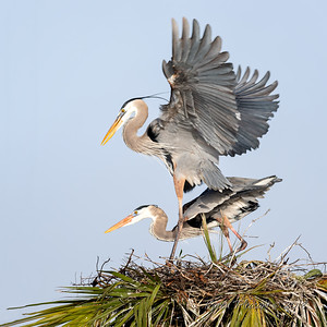 10  Heron's mating