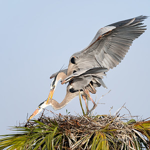1  Heron's mating