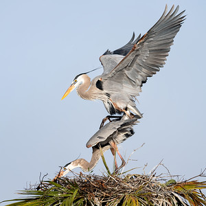 7  Heron's mating