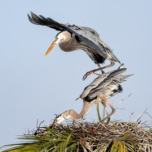 8  Heron's mating