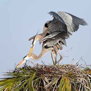 2  Heron's mating