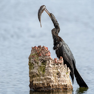 Anhinga with catfish