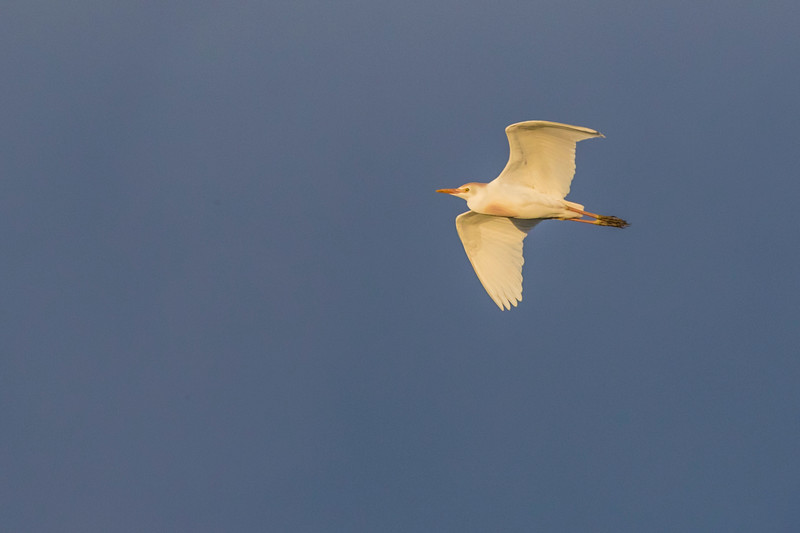 Cattle Egret in flight at sunset at Smith Oaks Rookery on High Island, Texas.