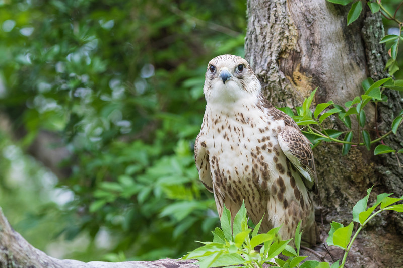 Krieger, a Saker Falcon, is a rescue bird trained by Sky Kings Falconry