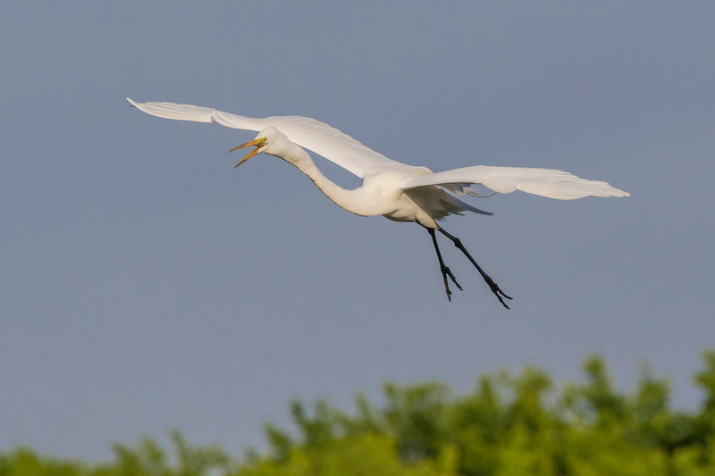 Great Egret in flight at Smith Oaks Rookery on High Island.