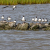 Laughing Gulls at North Deer Island Pelican Rookery in Galveston Bay.