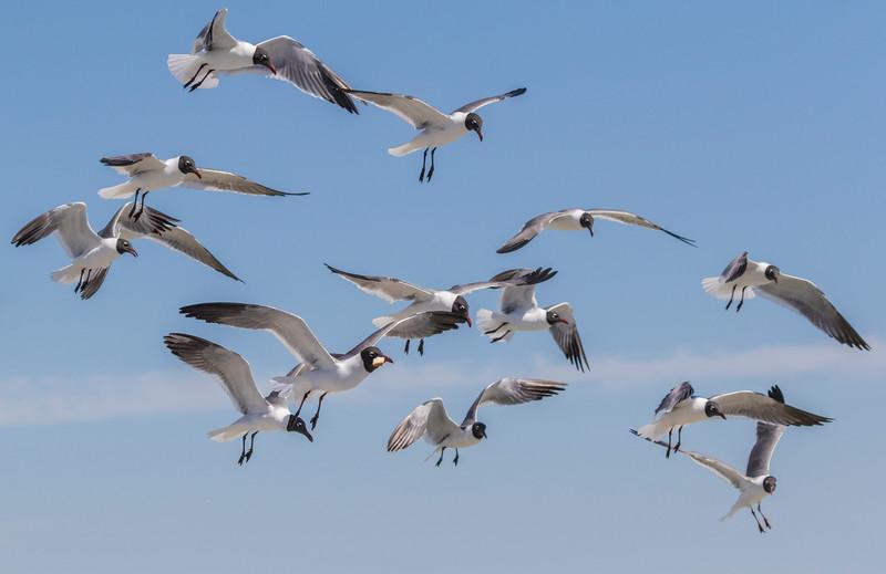 Laughing Gulls begging for food from passengers on Galveston-Bolivar ferry in Galveston Bay.