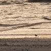 Semi-palmated Plover in golden light and shadow at sunrise on Galveston East Beach.