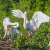 Great Egret landing at nest at The Rookery at Smith Oaks in High Island, Texas, during breeding season.