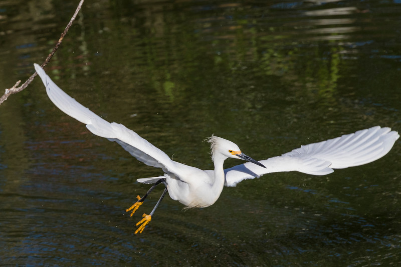 Snowy Egret in flight and in breeding plumage at the Smith Oaks Rookery on High Island, Texas.