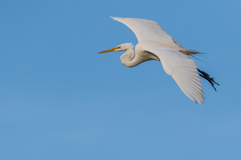 Great Egret in flight at Smith Oaks Rookery on High Island during Featherfest workshops.
