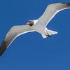 Laughing Gulls in flight following the Galveston-Bolivar ferry in Galveston Bay.