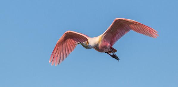 Galveston Featherfest birds