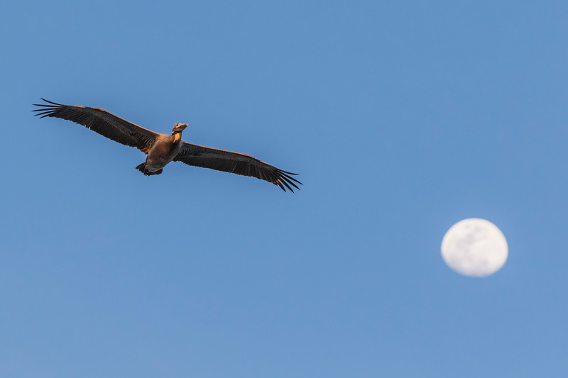 Brown Pelicans in flight at sunset with rising moon.
