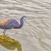 Tricolored Heron in breeding plumage on Bolivar Peninsula.
