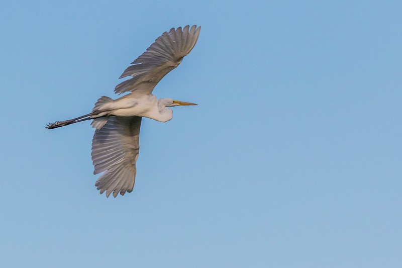 Great Egret in flight at Smith Oaks Rookery during Featherfest workshops.