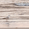 Herring Gull with reflections on Galveston East Beach at sunrise.