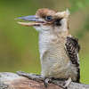 Laughing Kookaburra, the largest bird in the Kingfisher family, puts on a show. Rescue bird, trained by Sky Kings Falconry, a non-profit organizaiton.
