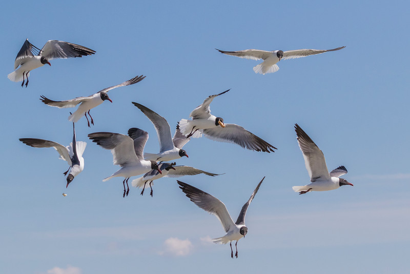 Laughing Gulls begging for food from passengers on Galveston-Bolivar ferry in Galveston Bay.