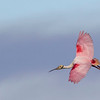 Roseate Spoonbill in flight at Smith Oaks Rookery on High Island during Featherfest workshops.