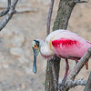 Roseate Spoonbill at Smith Oaks Rookery at High Island, Texas.