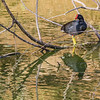 American Purple Gallinule at The Rookery at Smith Oaks in High Island, Texas, during breeding season.