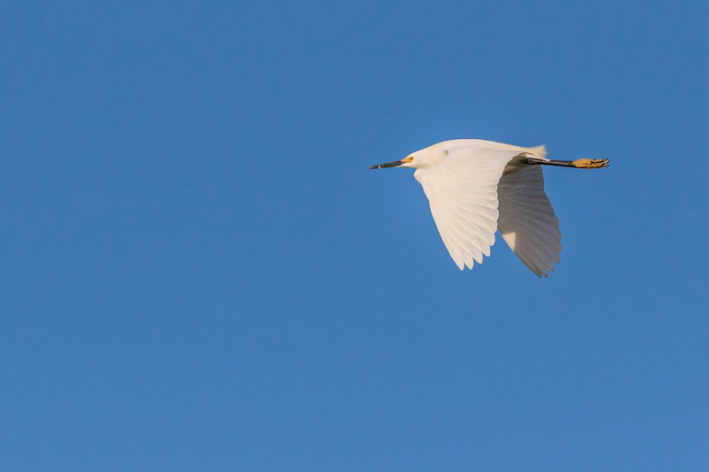 Snowy Egret in flight at Smith Oaks Rookery on High Island, Texas.