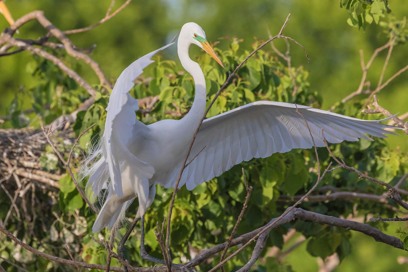 Great Egret wtih nest at Smith Oaks Rookery on High Island during Featherfest workshops.