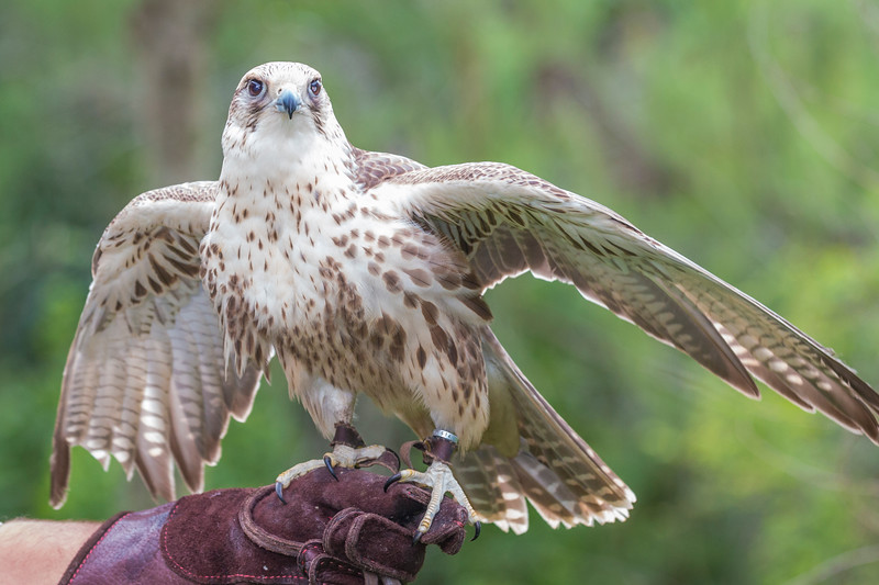 Krieger, a Saker Falcon, is a rescue bird trained by Sky Kings Falconry.