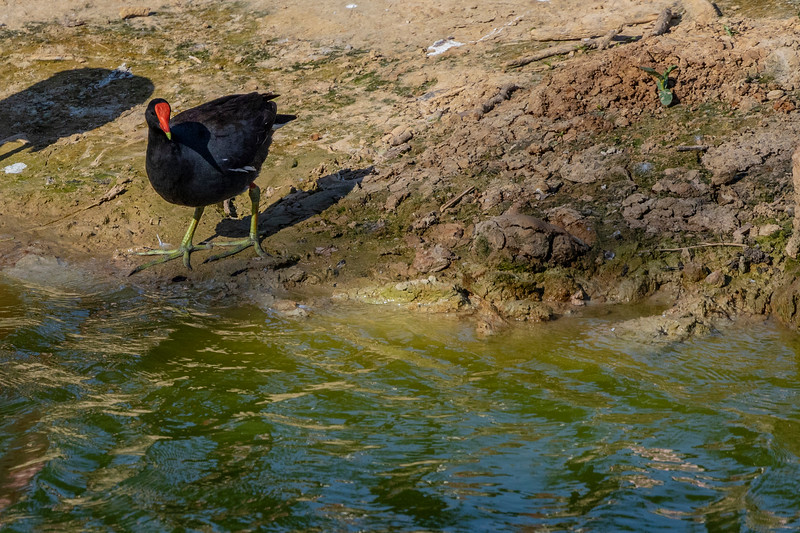 Common Gallinule at Smith Oaks Rookery in High Island, TX.